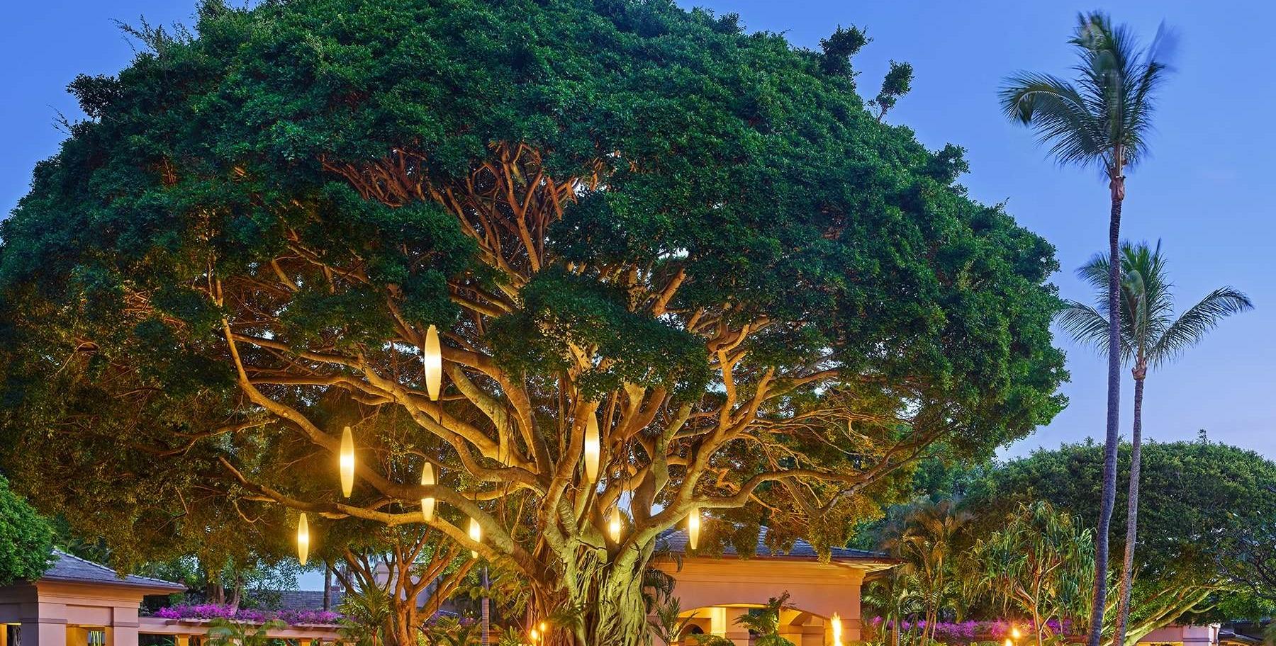 Banyan Tree located at the iconic Ritz-Carlton, Kapalua on Maui